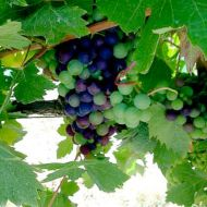 zinfandel-at-veraison2.jpg