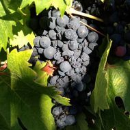 zinfandel-ripe-with-raisins2.jpg