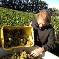 harvest-chardonnay2.jpg
