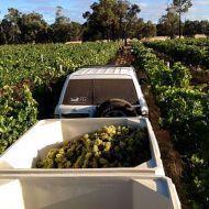 harvest-chardonnay3.jpg