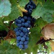 zinfandel-ripe-with-raisins.jpg